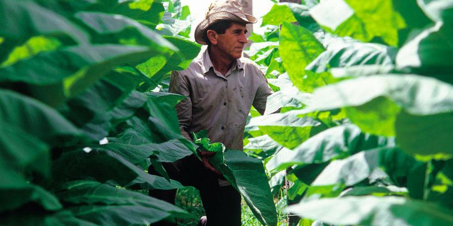 Homme Plantation de tabac Beatriz Aebischer