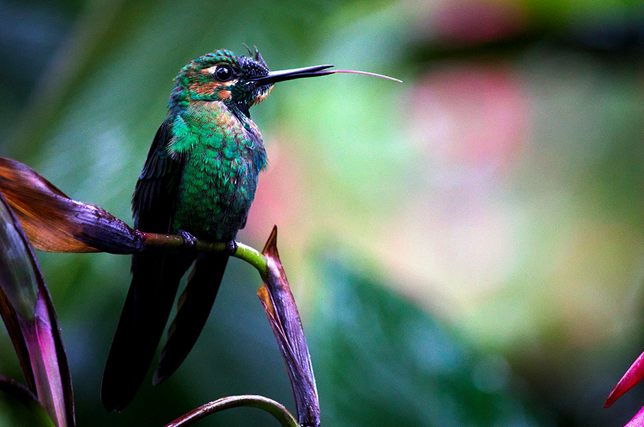Oiseau Costa Rica Beatriz Aebischer