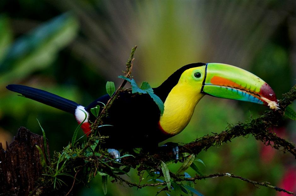 Toucan Costa Rica Beatriz Aebischer